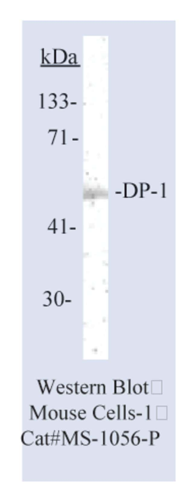 Thermo Scientific Lab Vision DP-1 Transcription Factor Ab-6, Mouse Monoclonal