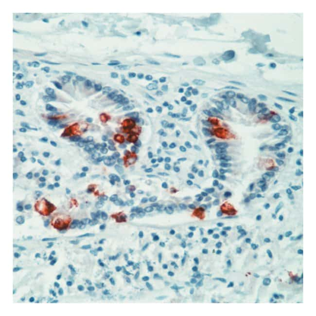 Thermo Scientific Lab Vision Mucin 2 (MUC2) Ab-2, Mouse Monoclonal Antibody::