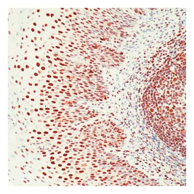 Thermo Scientific Lab Vision Ku (p70) Ab-4, Mouse Monoclonal Antibody 7mL;