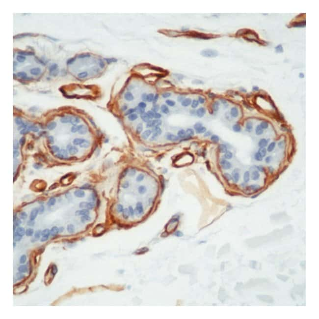 Thermo Scientific Lab Vision Collagen IV Ab-1, Mouse Monoclonal Antibody::