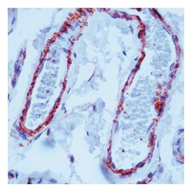 Thermo Scientific Lab Vision Filamin Ab-1, Mouse Monoclonal Antibody::