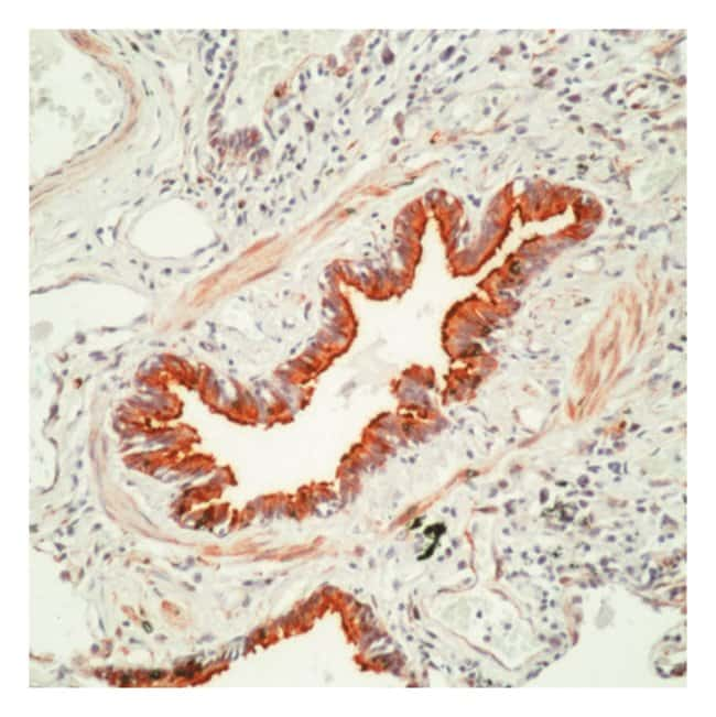 Thermo Scientific Lab Vision Tubulin- Ab-6, Mouse Monoclonal Antibody 500µL;