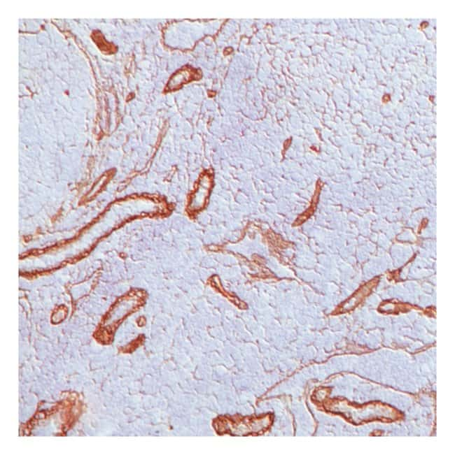 Thermo Scientific Lab Vision Laminin B2/ 1 Ab-1, Rat Monoclonal Antibody