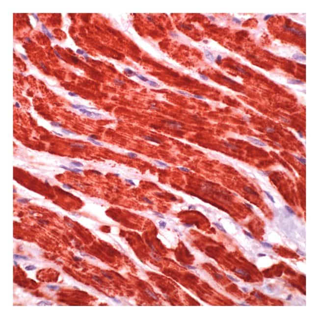 Thermo Scientific Lab Vision Cytochrome c Ab-2, Mouse Monoclonal Antibody::