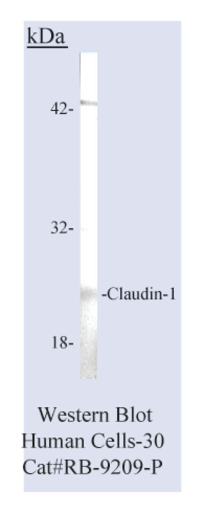 Thermo Scientific Lab Vision Claudin 1, Rabbit Polyclonal Antibody::