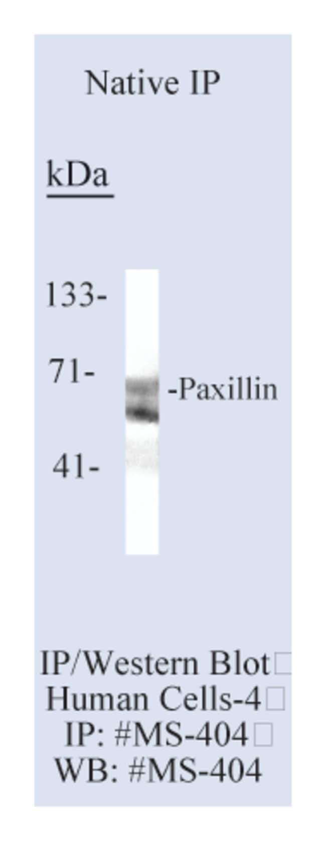 Thermo Scientific Lab Vision Paxillin Ab-1, Mouse Monoclonal Antibody::