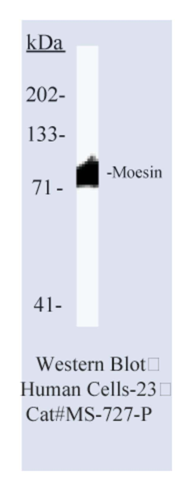 Thermo Scientific Lab Vision Moesin Ab-1, Mouse Monoclonal Antibody::