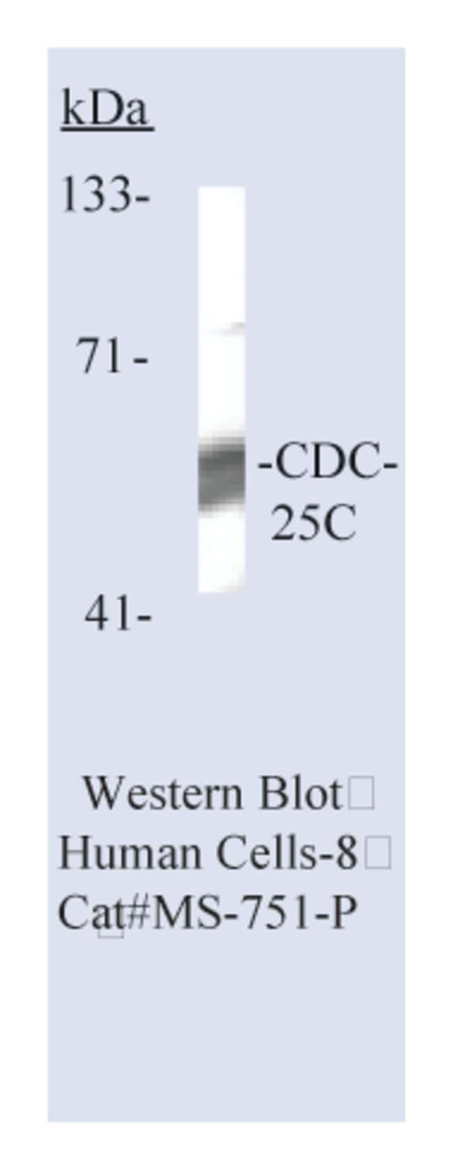 Thermo Scientific Lab Vision CDC25C Ab-1, Mouse Monoclonal Antibody::