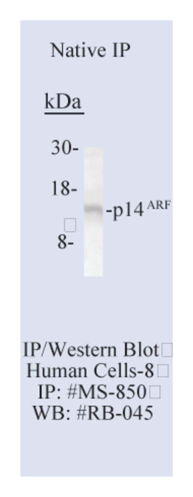 Thermo Scientific Lab Vision p14 ARF/p16 Ab-2, Mouse Monoclonal Antibody::