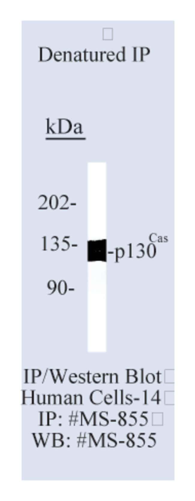Thermo Scientific Lab Vision p130 Cas Ab-1, Mouse Monoclonal Antibody::