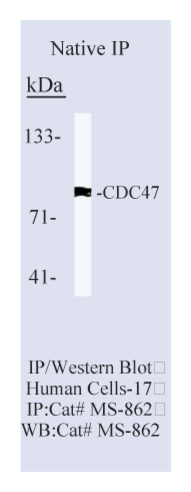 Thermo Scientific Lab Vision CDC47/MCM7 Ab-2, Mouse Monoclonal Antibody::
