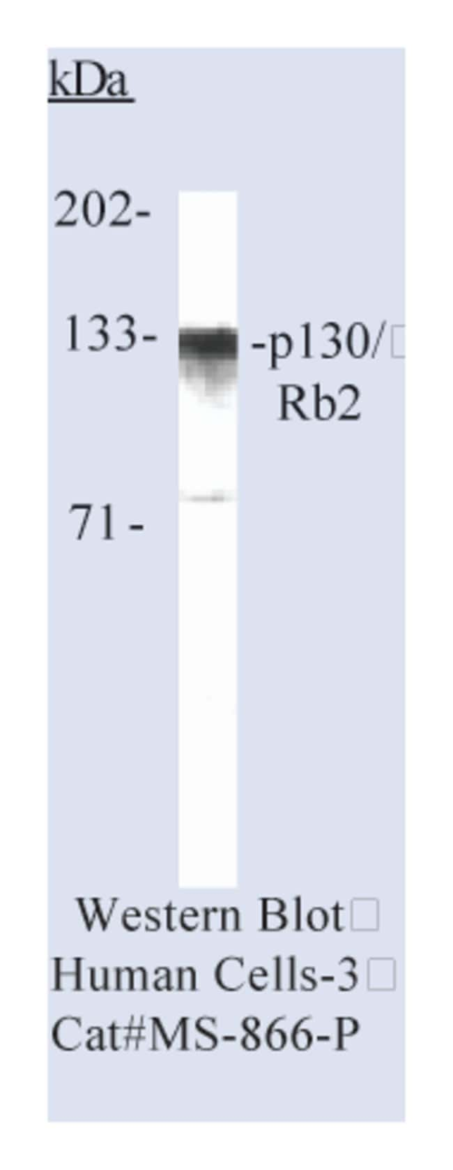 Thermo Scientific Lab Vision p130/Rb2 Ab-2, Mouse Monoclonal Antibody::