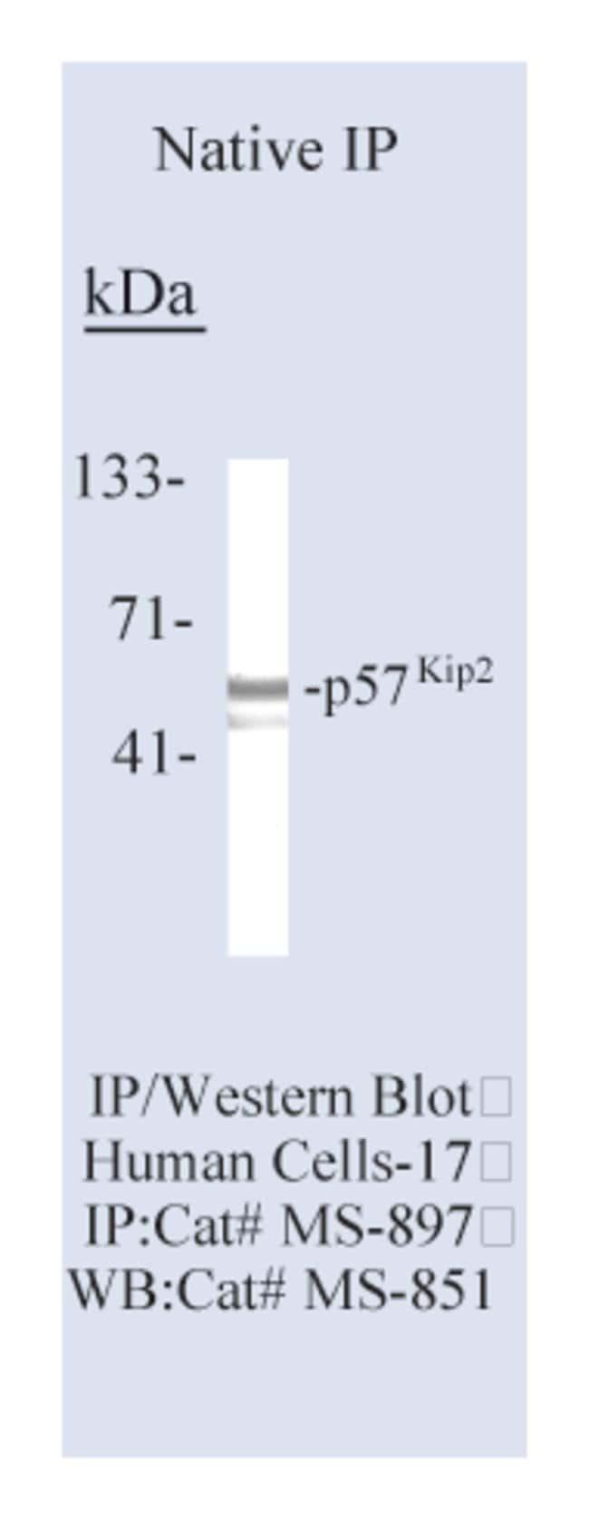 Thermo Scientific Lab Vision p57 Kip2 Ab-3, Mouse Monoclonal Antibody::