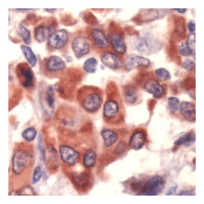 Thermo Scientific Lab Vision COX-1, Rabbit Polyclonal Antibody::