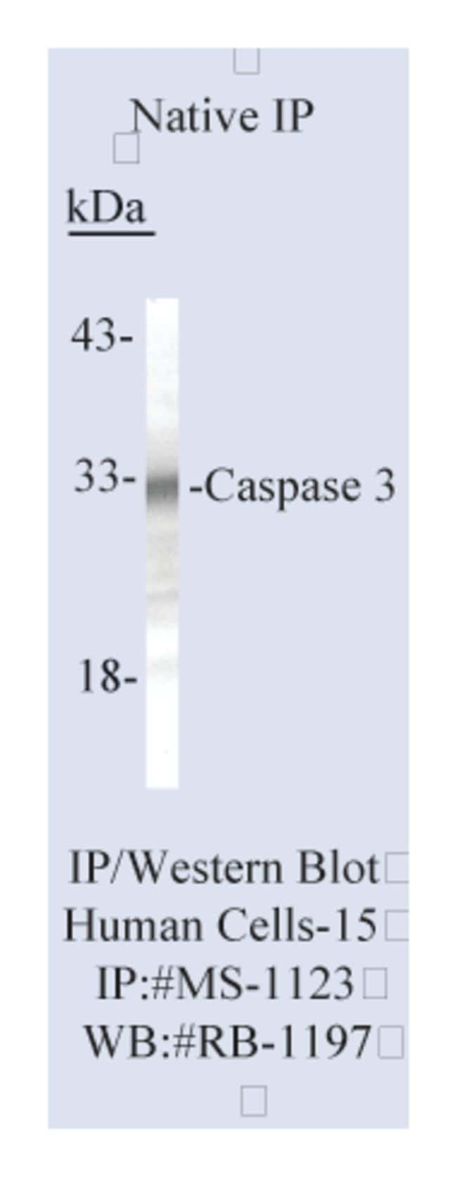 Thermo Scientific Lab Vision Caspase 3 (CPP32) Ab-3, Mouse Monoclonal Antibody::