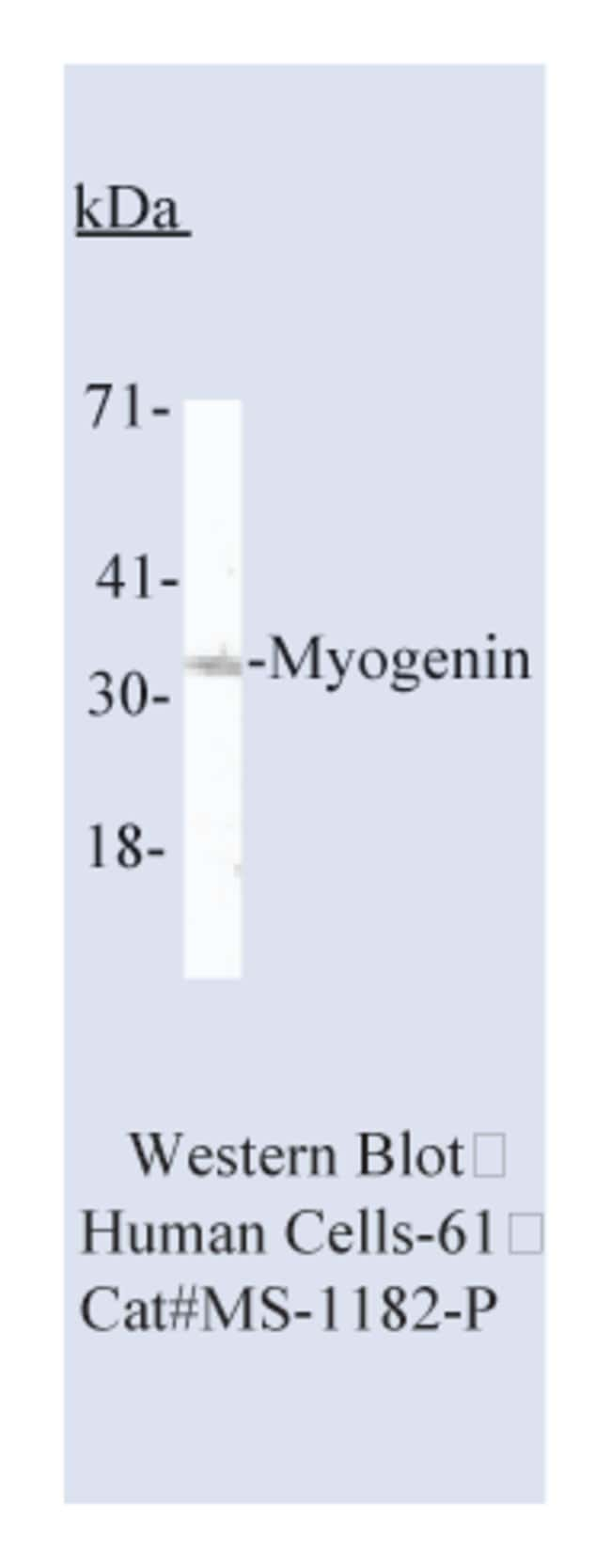 Thermo Scientific Lab Vision Myogenin Ab-2, Mouse Monoclonal Antibody::
