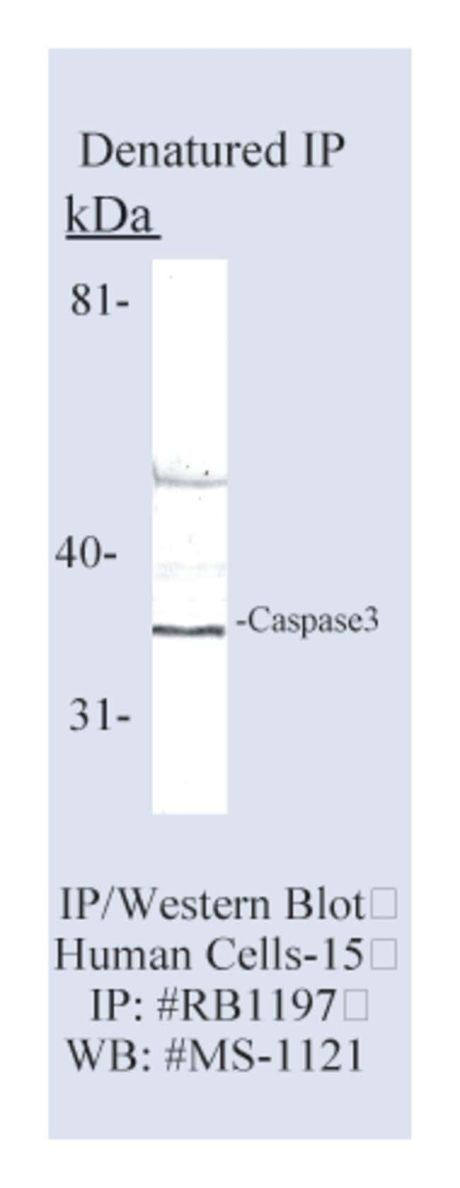 Thermo Scientific Lab Vision Caspase 3 (CPP32) Ab-4, Rabbit Polyclonal