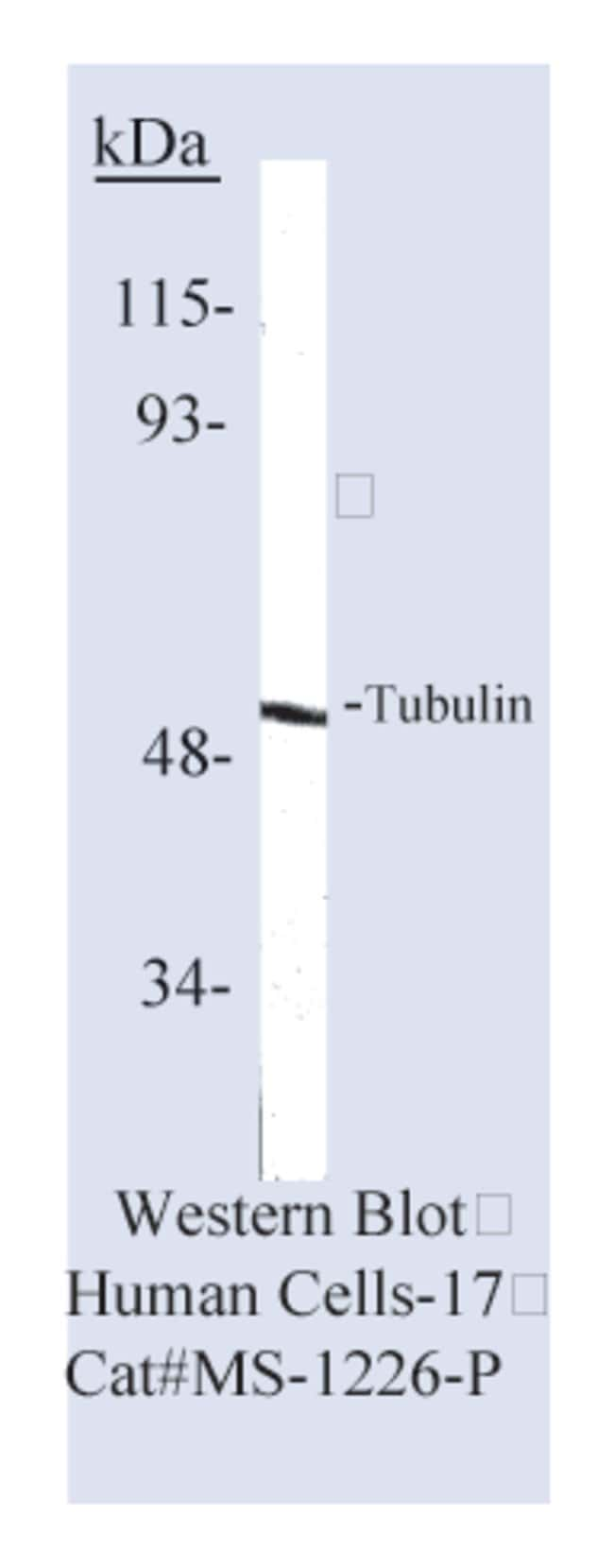 Thermo Scientific Lab Vision Tubulin- Ab-6, Mouse Monoclonal Antibody::