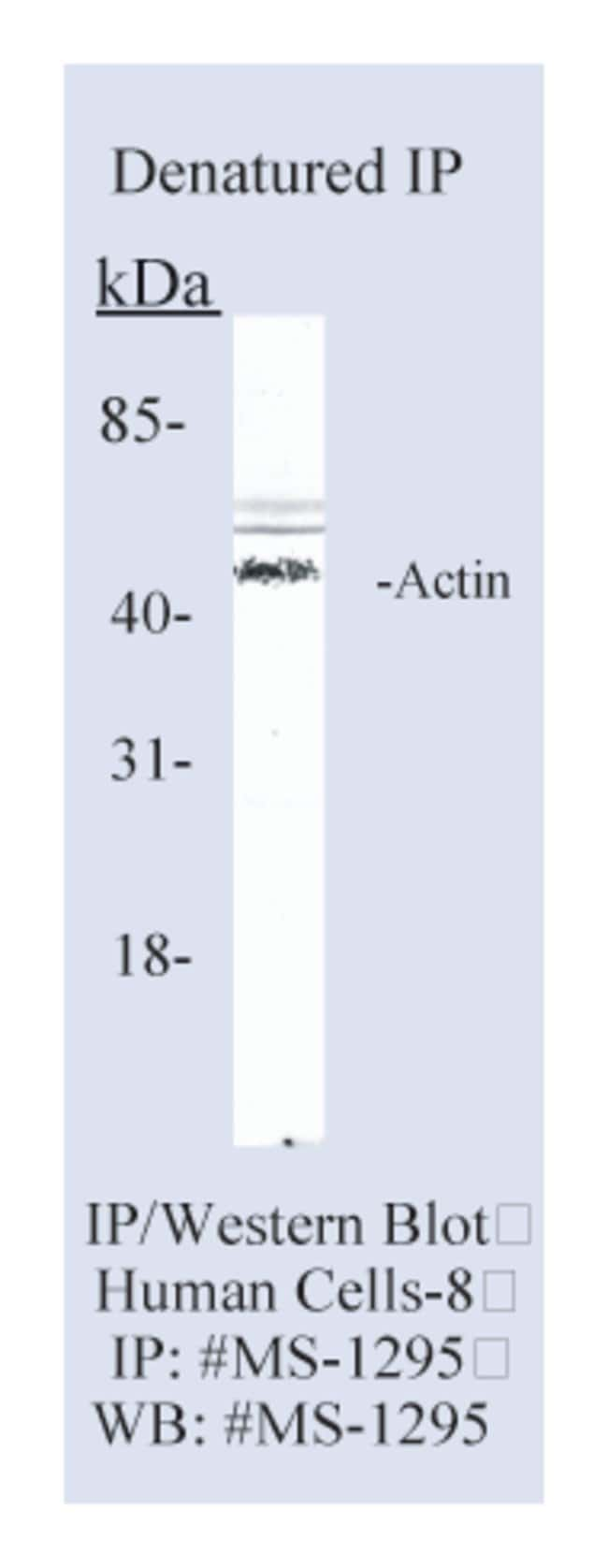 Thermo Scientific Lab Vision Actin, pan Ab-5, Mouse Monoclonal Antibody::