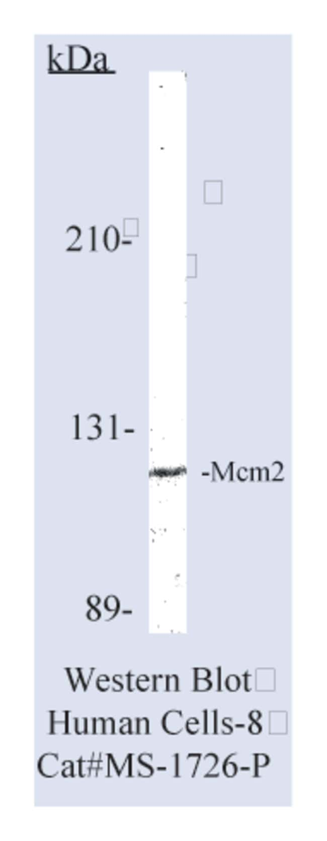 Thermo Scientific Lab Vision MCM2 Ab-1, Mouse Monoclonal Antibody::