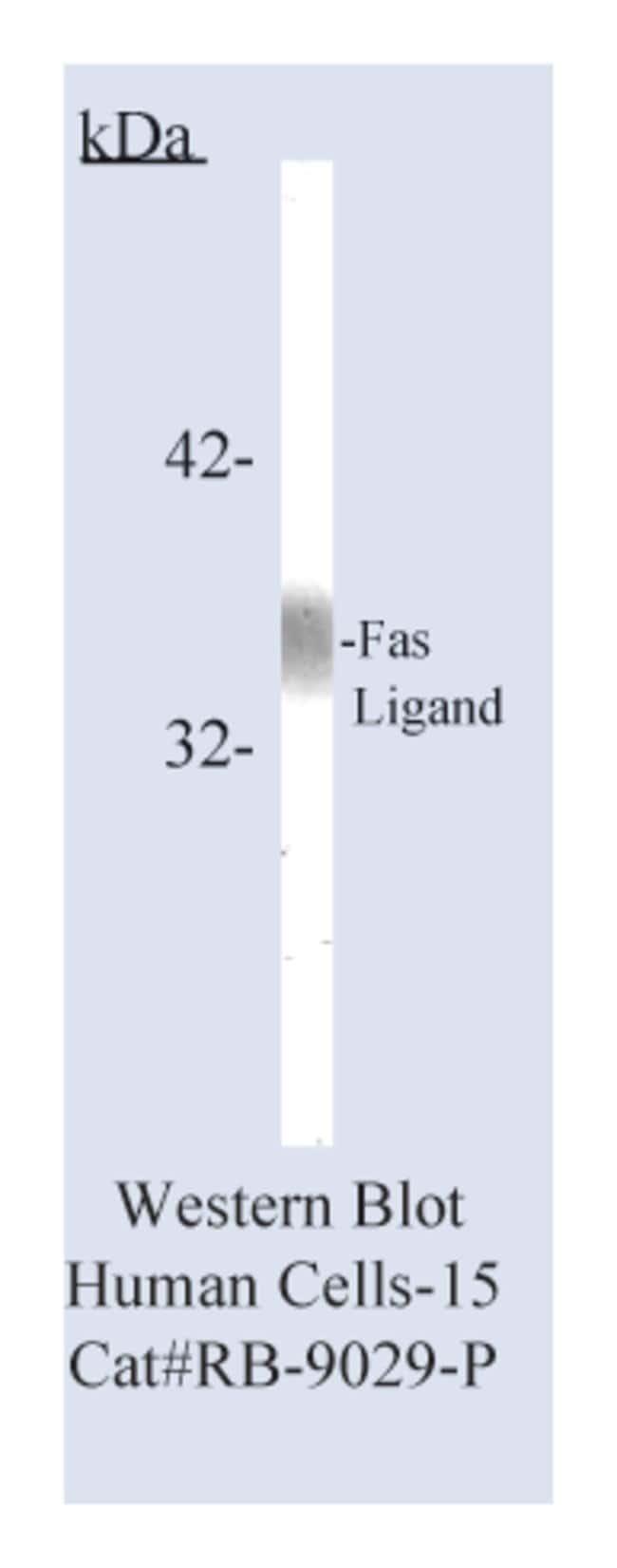 Thermo Scientific Lab Vision Fas Ligand, Rabbit Polyclonal Antibody::