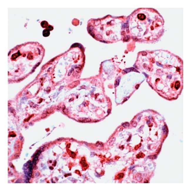 Thermo Scientific Lab Vision D4-GDI, Rabbit Polyclonal Antibody::
