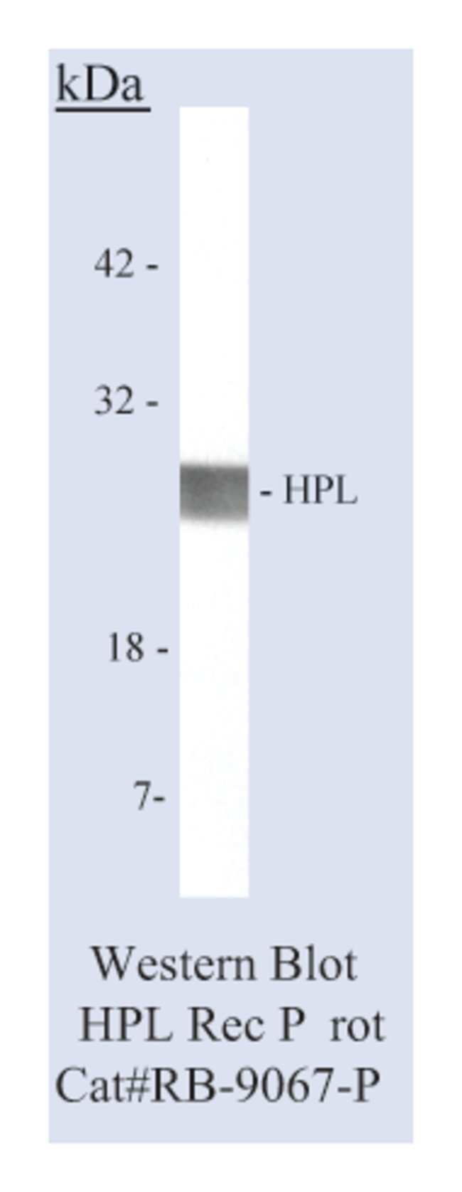 Thermo Scientific Lab Vision Placental Lactogen (hPL), Rabbit Polyclonal