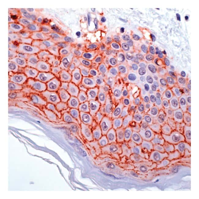 Thermo Scientific Lab Vision Claudin 1, Rabbit Polyclonal Antibody 1mL;