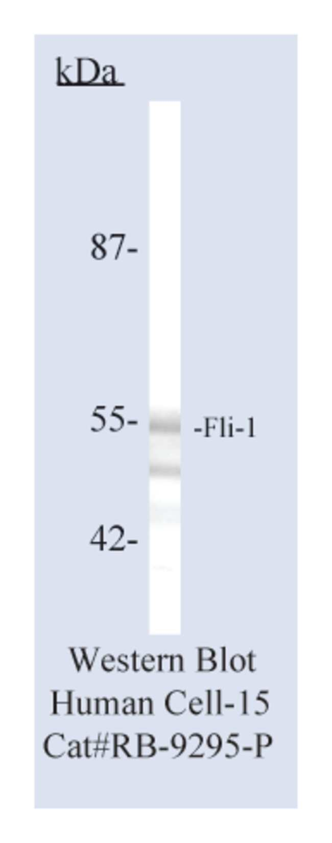 Thermo Scientific Lab Vision Fli-1, Rabbit Polyclonal Antibody::
