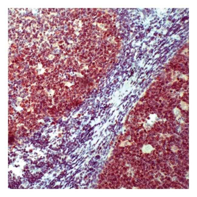 Thermo Scientific Lab Vision Oct-2, Rabbit Polyclonal Antibody::