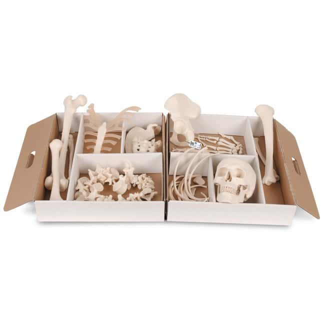 3B Scientific Disarticulated Human Half Skeleton - includes 3B Smart Anatomy