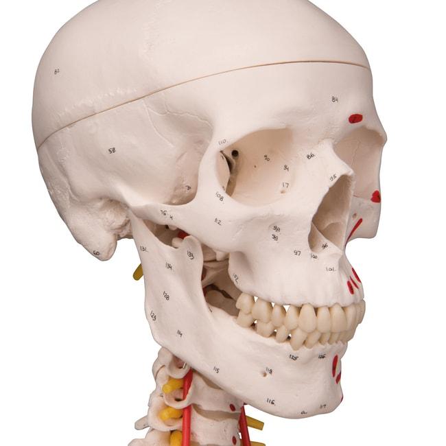 3B Scientific Deluxe Human Skeleton - includes 3B Smart Anatomy  Hanging