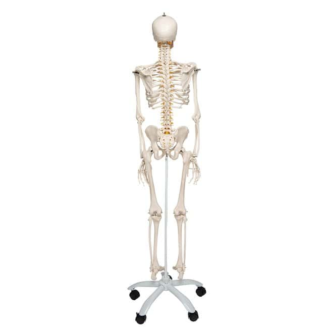 3B Scientific™ Flexible Human Skeleton Model - Fred - includes 3B Smart Anatomy