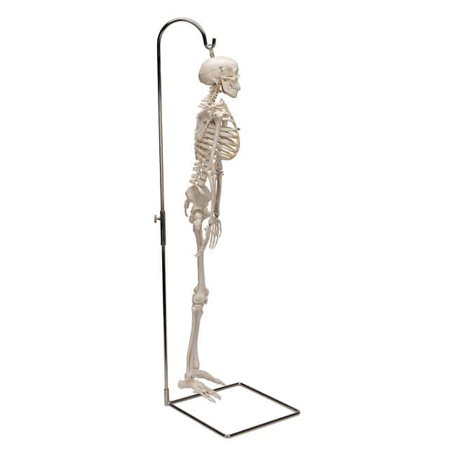 3B Scientific™ Adult Human Skeleton - includes 3B Smart Anatomy