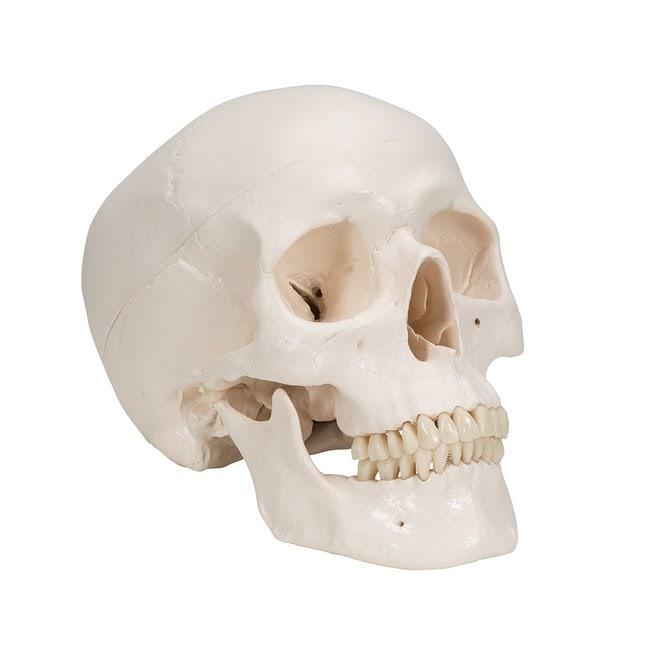 3B Scientific Life-Size Plastic Skulls - includes 3B Smart Anatomy  Unmarked:Teaching