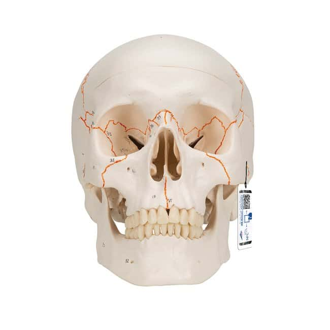 3B Scientific Brain Models - includes 3B Smart Anatomy :Teaching Supplies:Biology