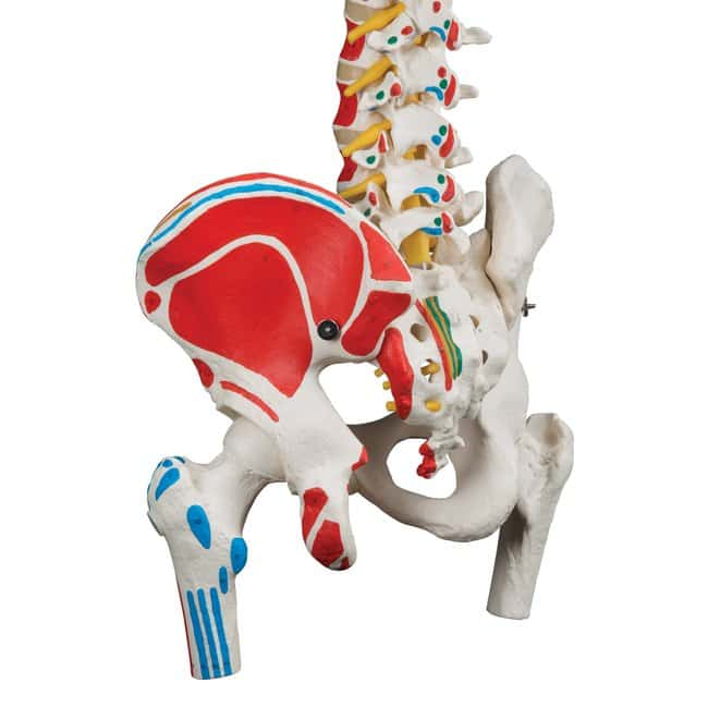 3B Scientific Classic Flexible Spine Model - includes 3B Smart Anatomy