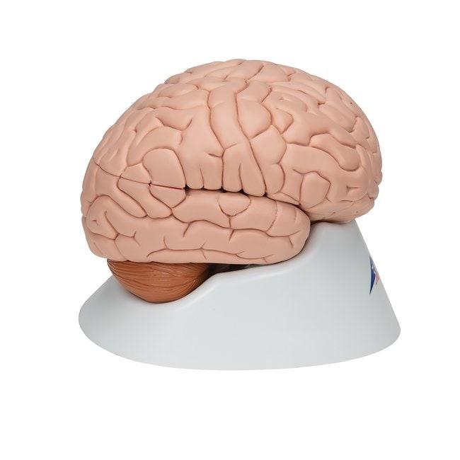 3B Scientific™Brain Models - includes 3B Smart Anatomy Eight-part brain 3B Scientific™Brain Models - includes 3B Smart Anatomy