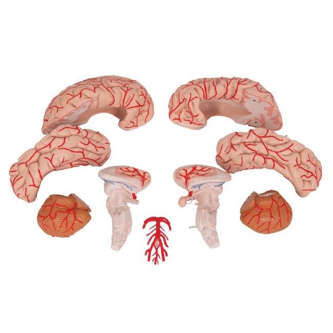 3B ScientificBrain with Arteries - includes 3B Smart Anatomy Brain Model