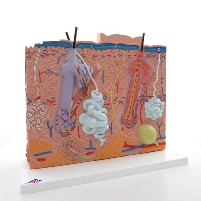 3B Scientific&trade;&nbsp;Skin Model&nbsp;<img src=