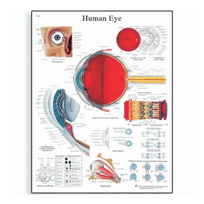 3B Scientific Anatomy Posters :Teaching Supplies:Classroom Safety