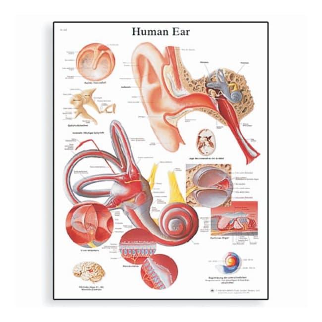 3B Scientific™Anatomy Posters