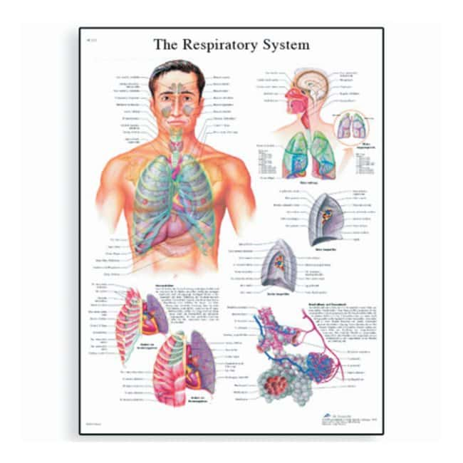 3B Scientific™ Anatomy Posters