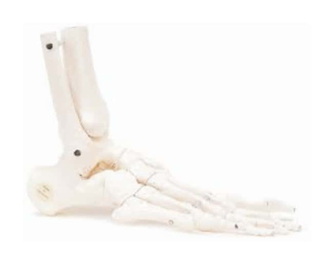 3b Scientific Loose Foot And Ankle Skeleton Model Loose Foot And Ankle