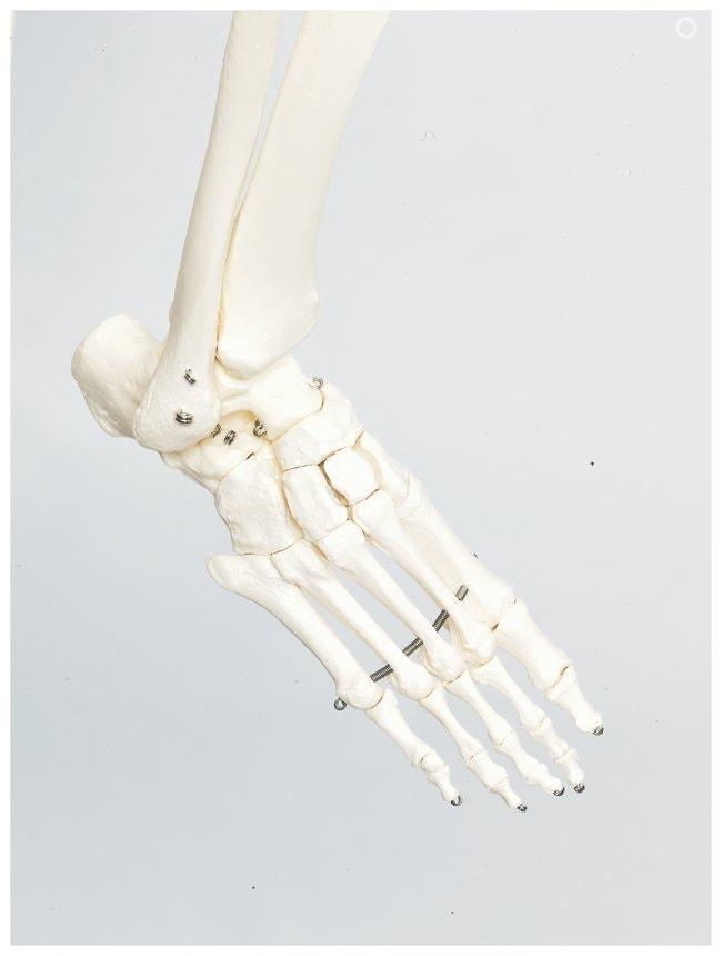 3B Scientific™Adult Human Skeleton - includes 3B Smart Anatomy