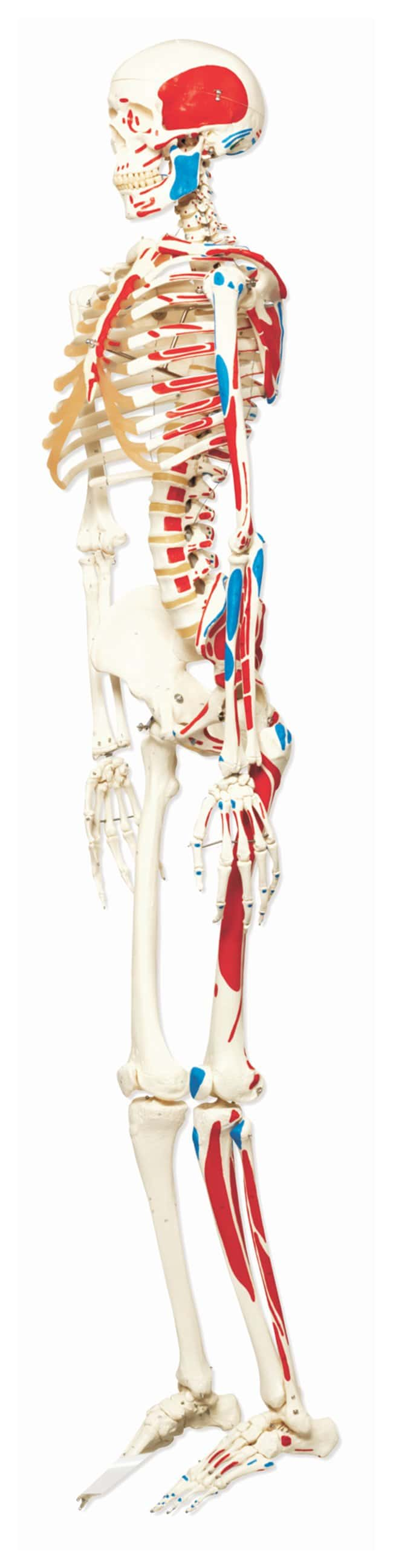 3b Scientific Skeleton With Muscle Origins And Insertions