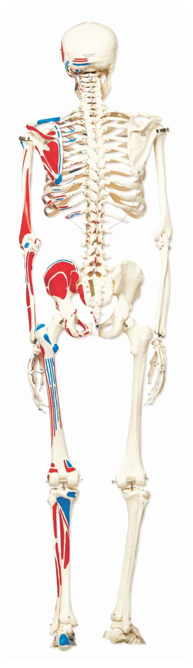 3B Scientific Skeleton with Muscle Origins and Insertions - includes 3B