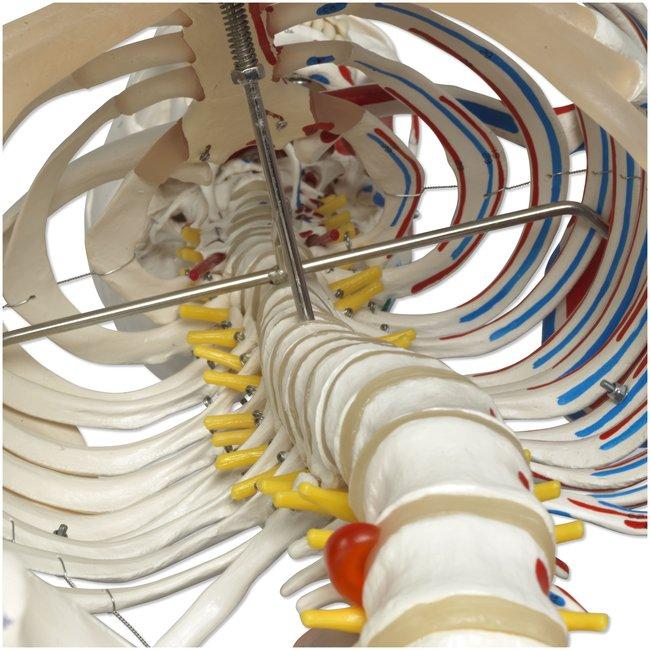 3B Scientific Deluxe Human Skeleton - includes 3B Smart Anatomy :Teaching