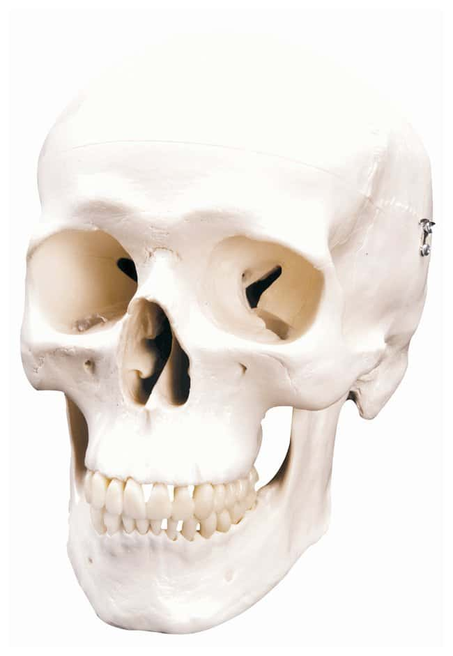3B Scientific Life-Size Plastic Skulls - includes 3B Smart Anatomy :Teaching
