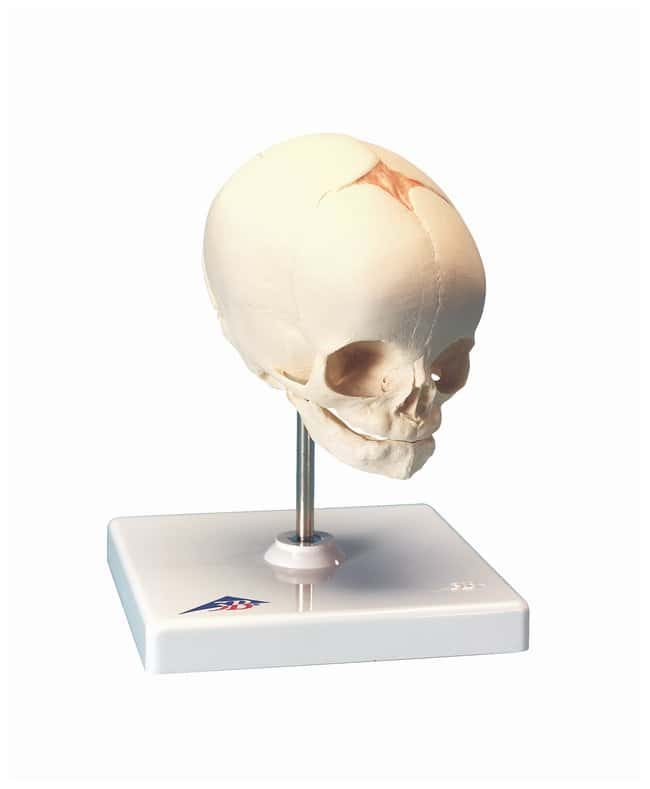 3B Scientific Fetus Skull - includes 3B Smart Anatomy :Teaching Supplies:Biology